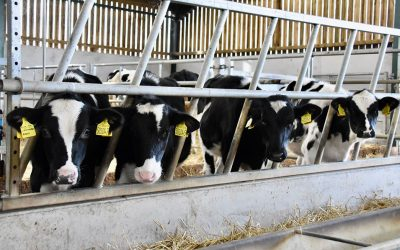3 steps to success in 90 days with Davidsons Calf Milk