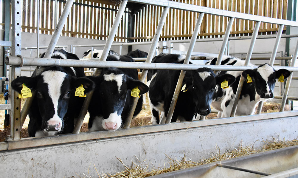Calves at barrier