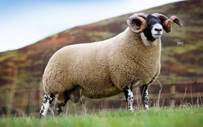 Sheep Roughmix