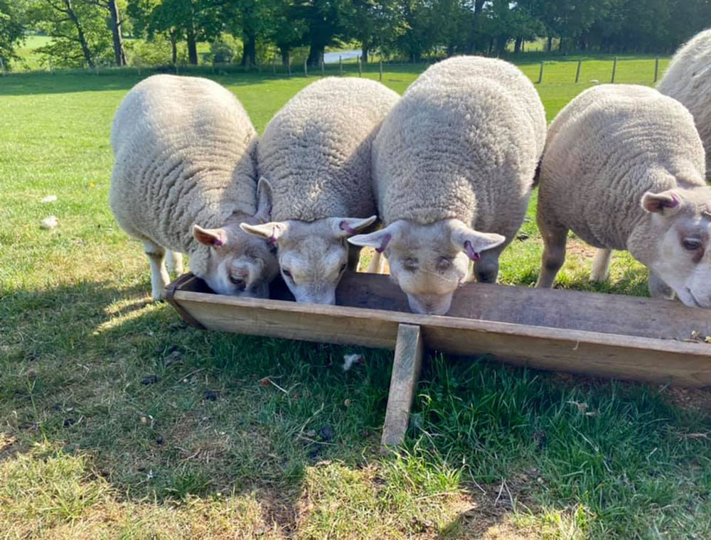 Beltex Lambs